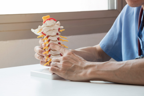 Chiropractor holding model spine.